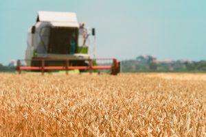 cultura do trigo